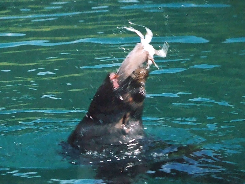 Seal playing with food